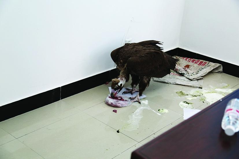秃鹫是国家二级保护动物,属大型猛禽,主要栖息于低山丘陵和高山荒原与